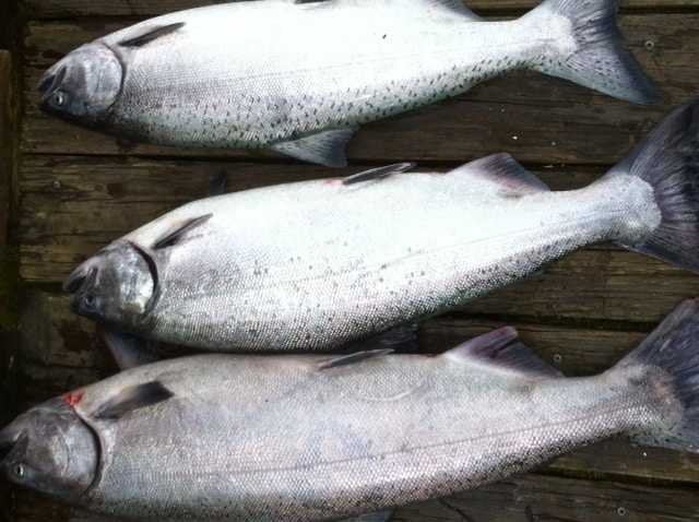 Photo of spring Chinook salmon caught in the Willamette River in Portland