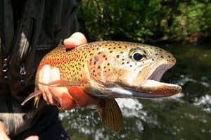 An angler holding a fish caught in mckenzie river.