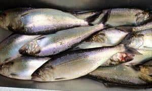 shad fishing in oregon and washington