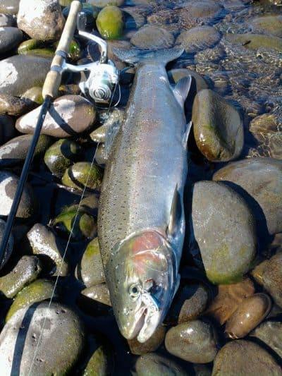 steelhead on the bank with a fishing rod