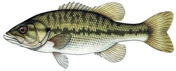 spotted_bass_image