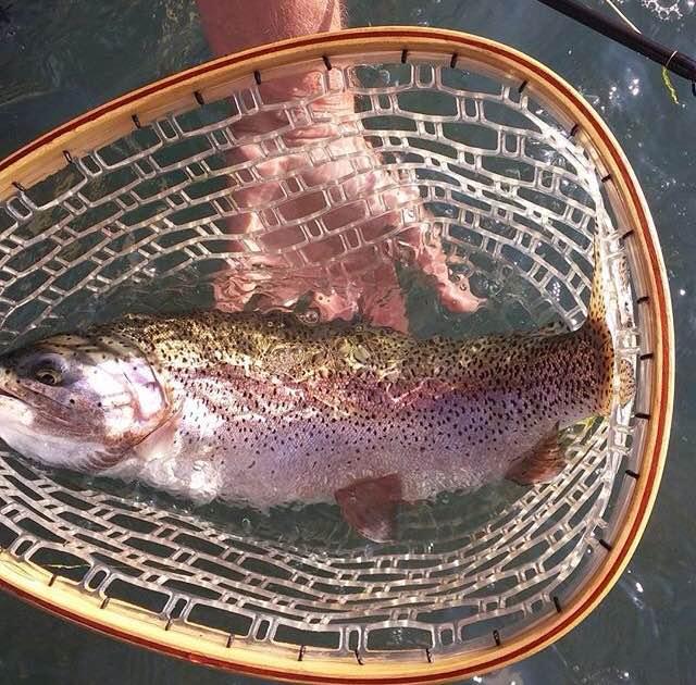 Owyhee River rainbow trout in a net.