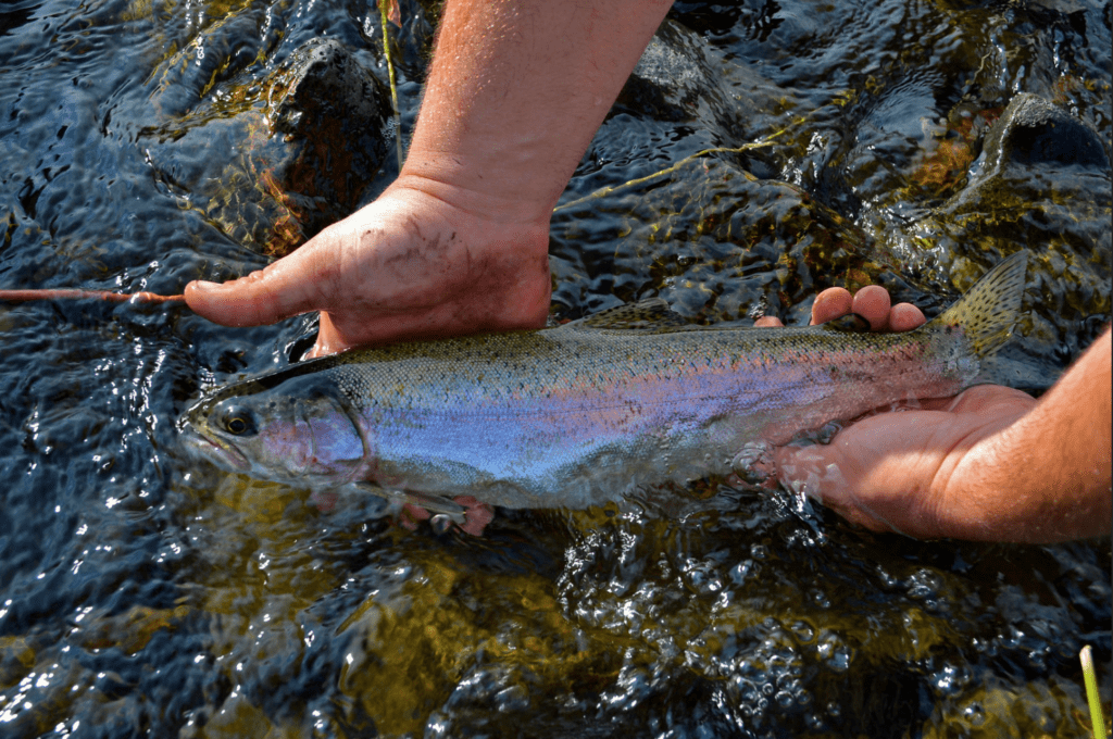 Native redside rainbow trout aren't always large in the Sprague and Sycan rivers (although they can be), but they are spunky fighters and excellent quarry for fly fishing.