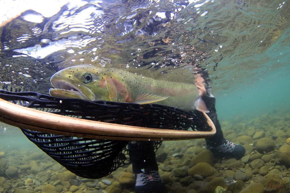 Underwater shot of a wild steelhead in a net in clear water.