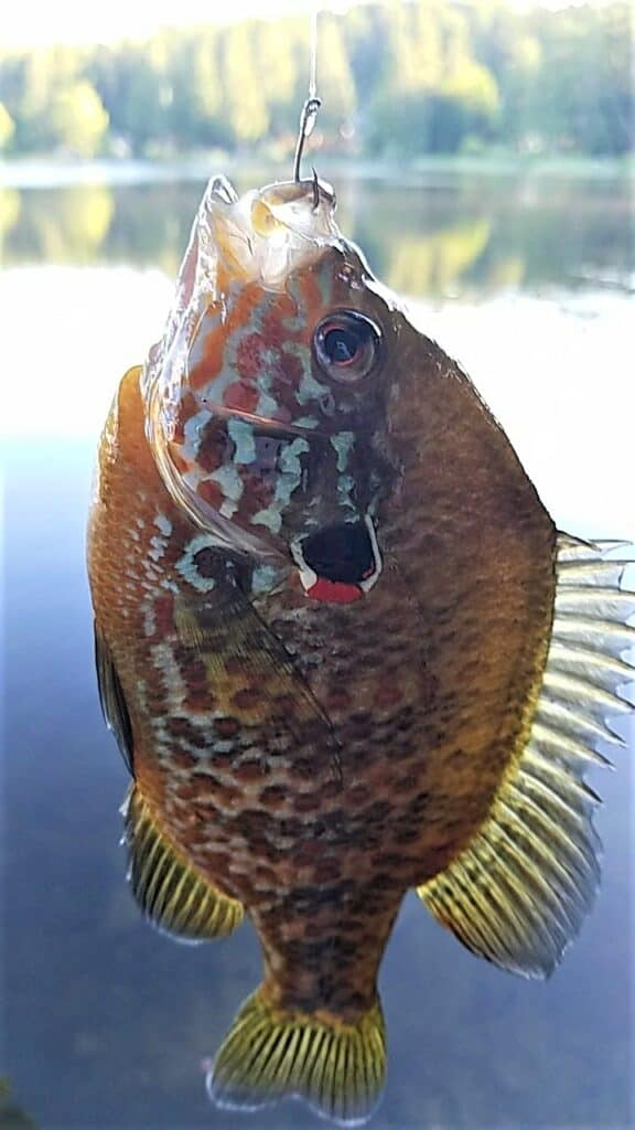 redear sunfish aren't as common as bluegill at st. louis ponds in oregon, but both red-ear and green sunfish are present. this is a beautiful specimen of a red ear sunfish