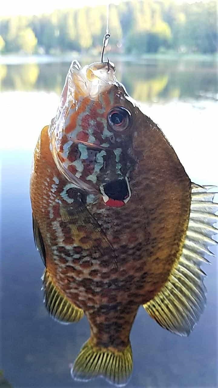 closeup photo of pumpkinseed sunfish