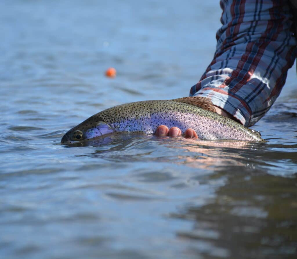 A thick rainbow trout caught and release from the Yakima River in central Washington, one of the state's fly fishing rivers