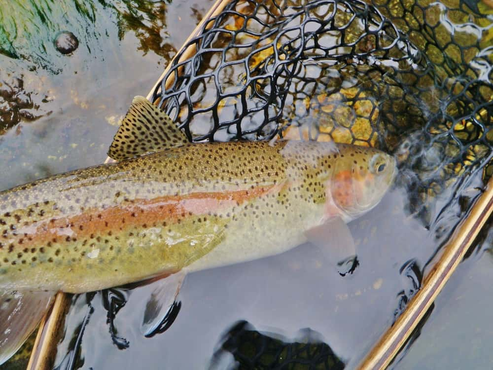 Beautiful rainbow trout in the net before release back into the upper sacramento river