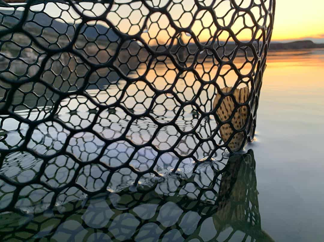 This photo shows a trophy trout in a soft net with the setting sun off Lenice Lake, a fly fishing destination in central Washington.