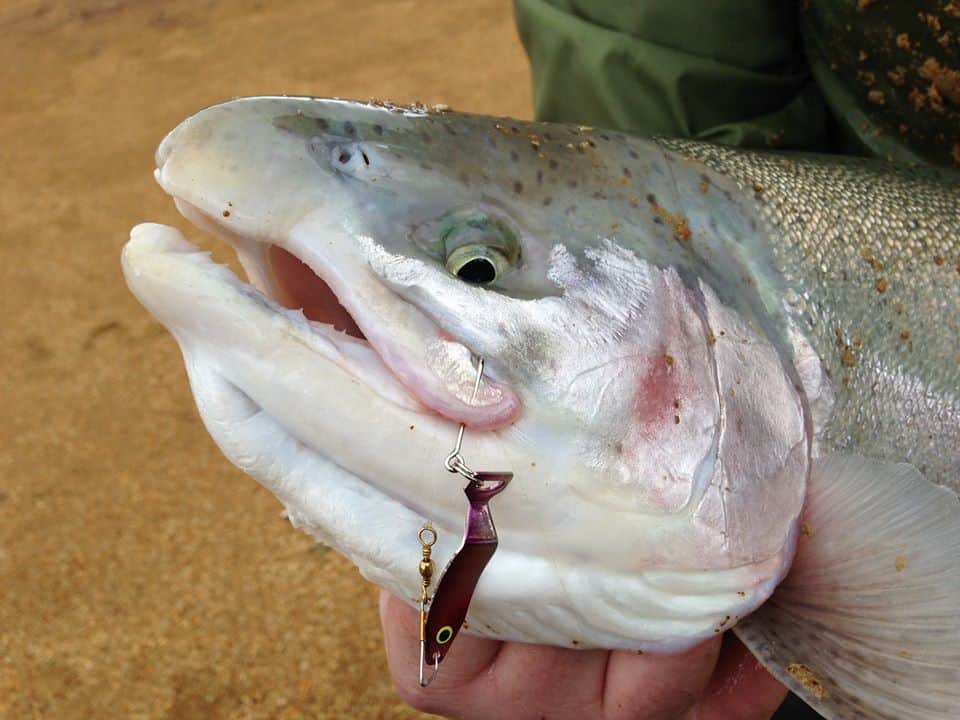 A lure sticks out of the mouth of a massive brood trout caught at Henry Hagg Lake near Forest Grove, Oregon.