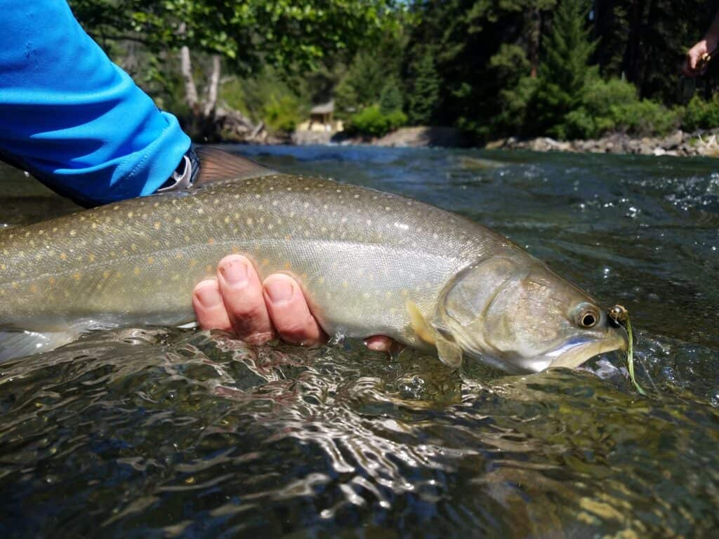 This photograph shows a large bull trout caught on a fly and released unharmed.