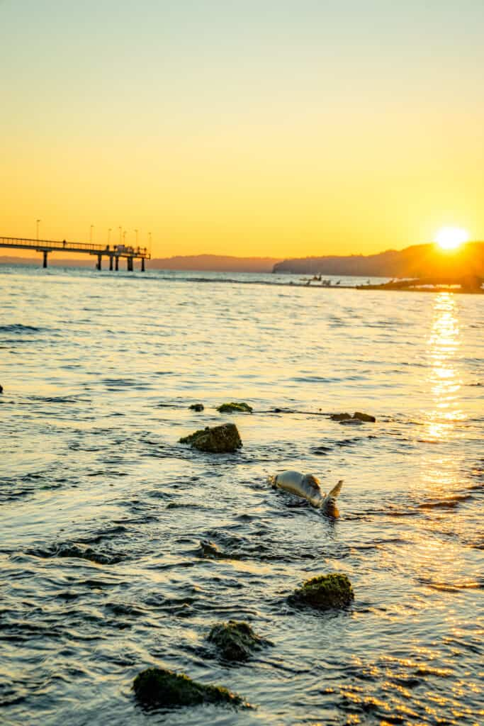 A chum salmon swims near sunset at Des Moines Beach in King County