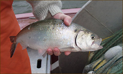 Closeup of an American shad