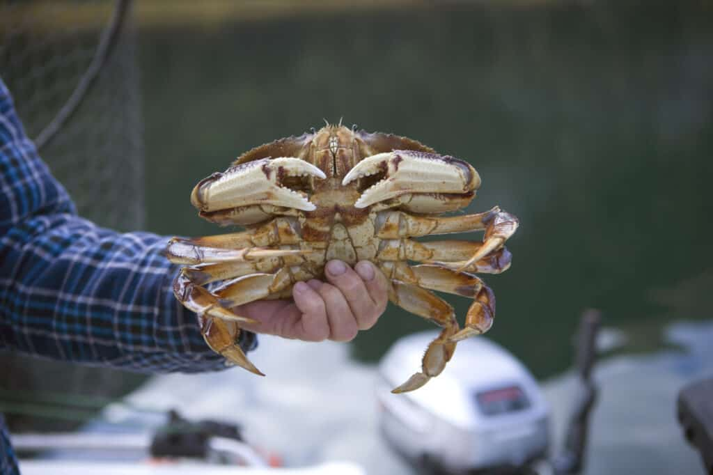 Closeup of a male dungeness crab