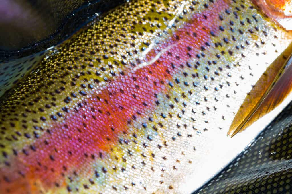 beautiful colors of a native Deschutes River redside rainbow trout