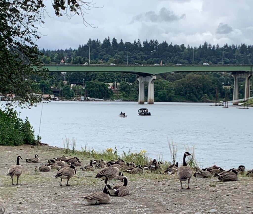 Geese and a bank angler's rod keep watch over boaters fishing near the Interstate 205 bridge. The area is popular for Chinook salmon and shad in spring and early summer.