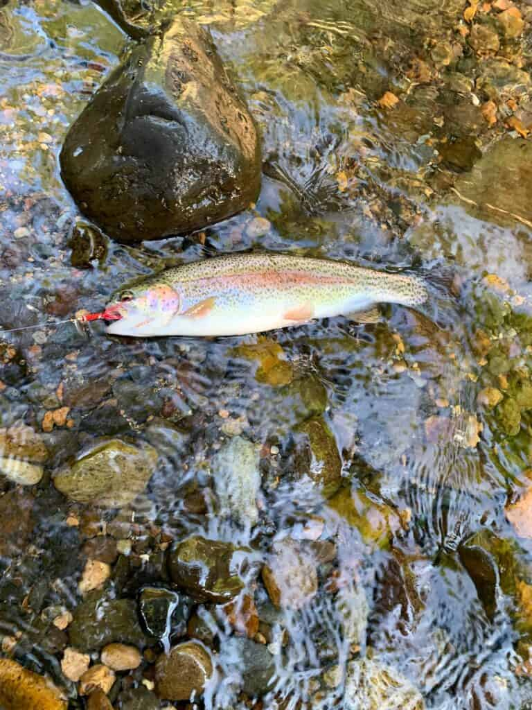 Closeup view of a hooked rainbow trout against stream rocks