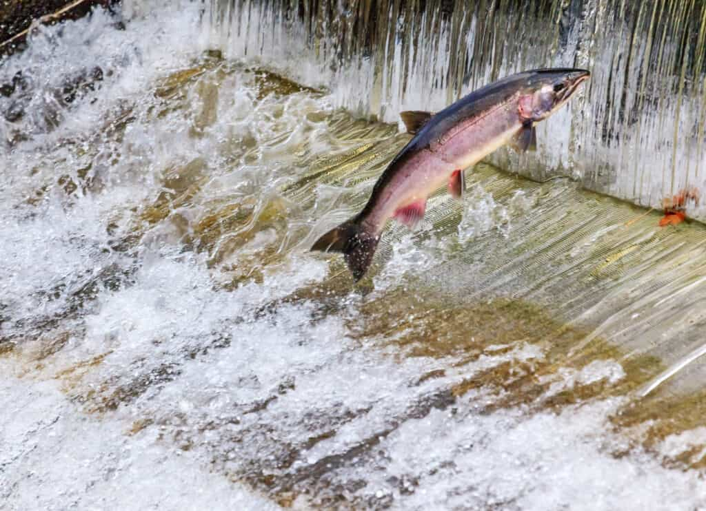 A coho salmon jumping a fish ladder on Issaquah Creek.