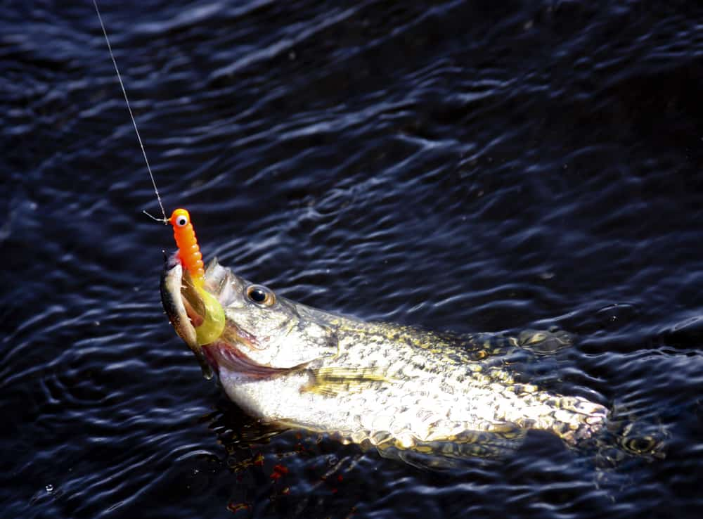 a crappie on the surface of the water hooked with an orange jig