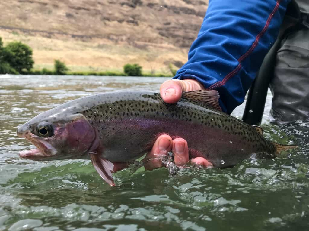 A beautiful deschutes river wild rainbow trout, also known as a redside.