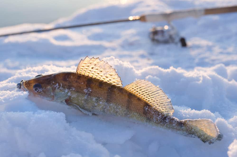 walleye on snow near a fishing pole