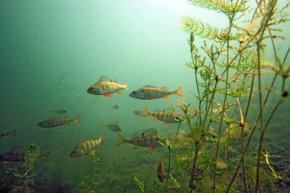 yellow perch schooling near underwater plants