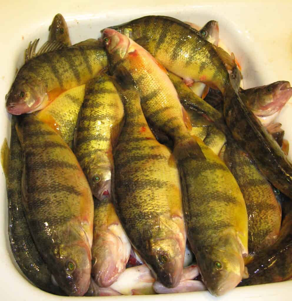 A sink full of about 50 yellow perch ready for cleaning after being caught in Moses Lake, Washington.
