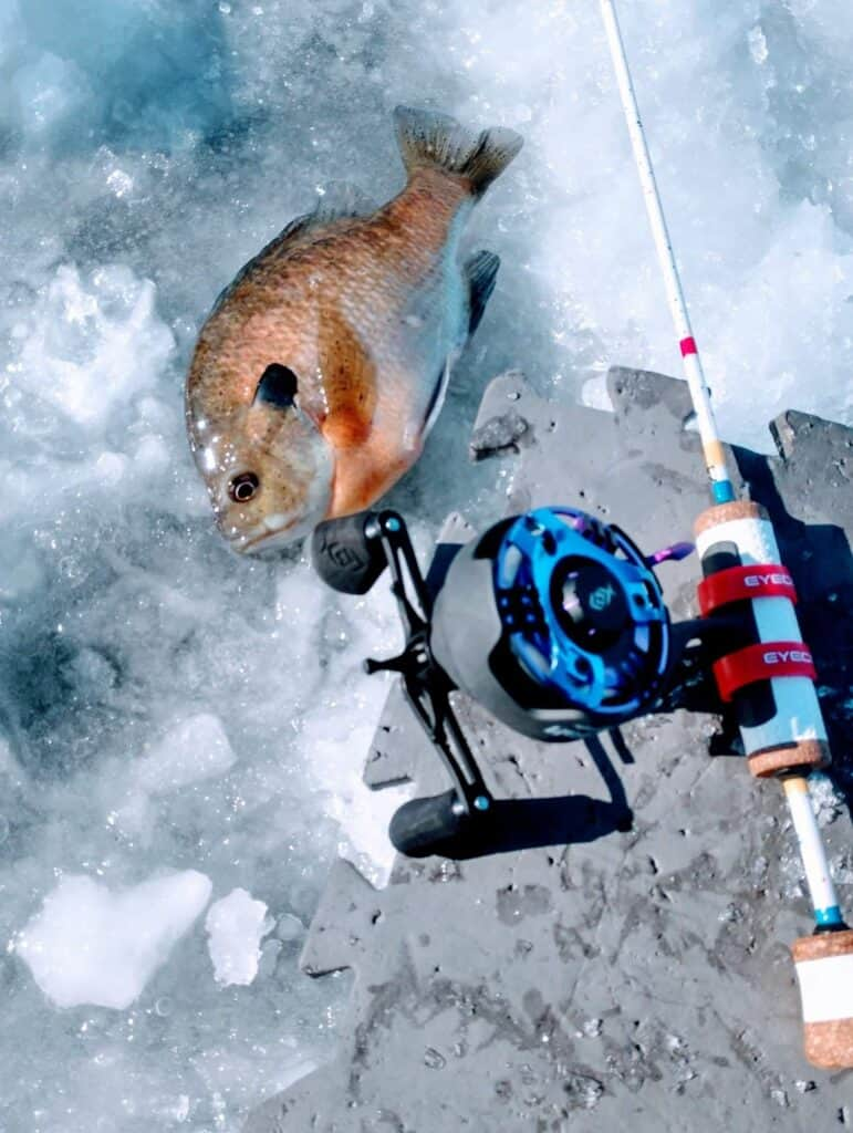 A sunfish caught while ice fishing with a rod made with a Wonder Bread design by Sake Fishing.