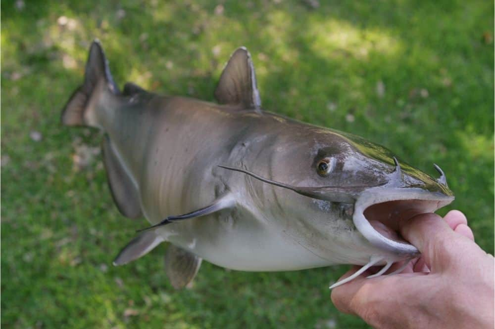 Closeup of a channel catfish in an angler's hand.