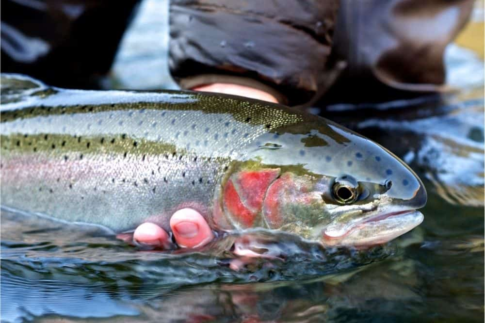 An angler holds a steelhead in the water