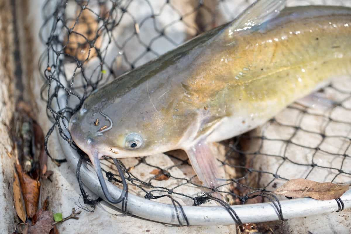 A channel catfish in a fishing net.