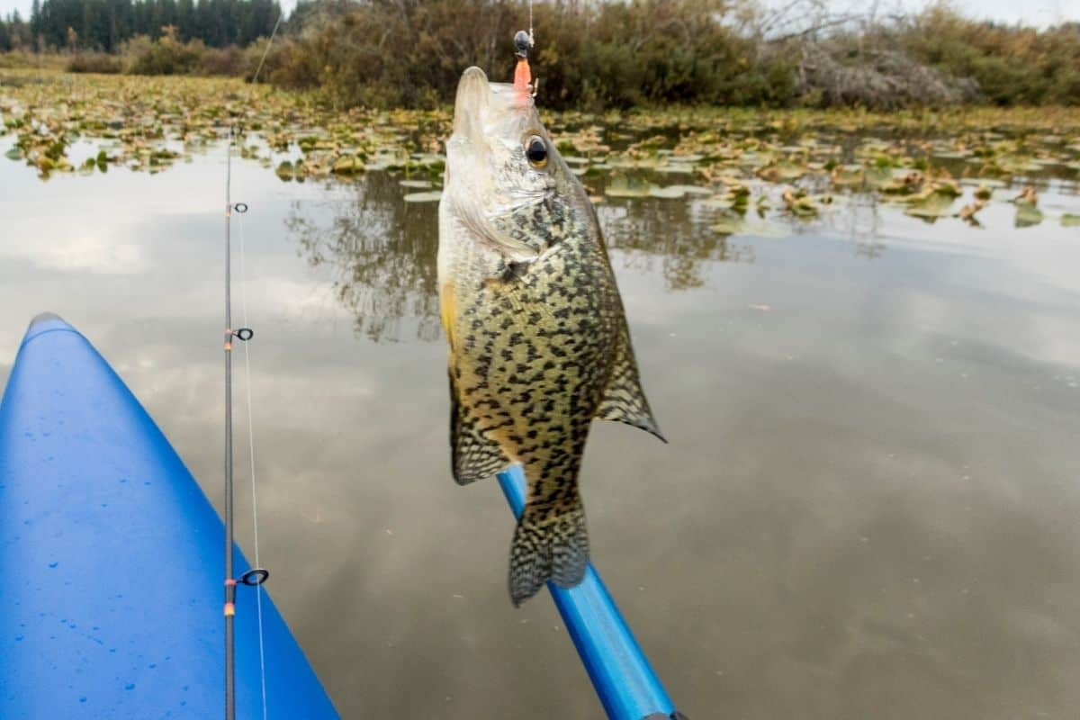 Crappie caught on a small jig held near kayak at pond with lily pads.
